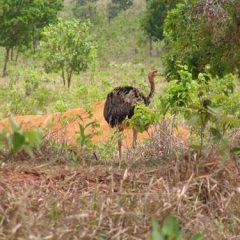 Emu - A large, flightless wild bird (Rhea americana) related to and resembling the ostrich